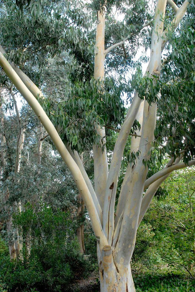 eucalyptus tre eterisk olje norsk nettbutikk cineol