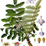 Boswellia treet